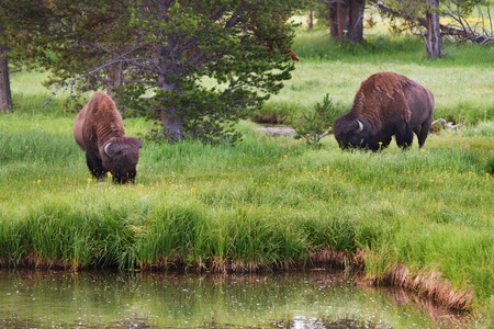 Bison grazing in the tall grass in Yellowstone Ntional Park, United States