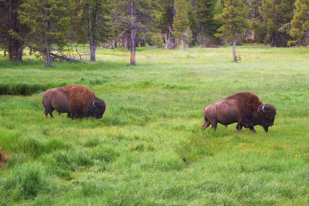 Two bison walking through tall grass in Yellowstone National Park, United Sates Stock Photo