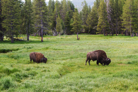 Two bison grazing in tall grass in Yellowstone National Park, United States Stock Photo