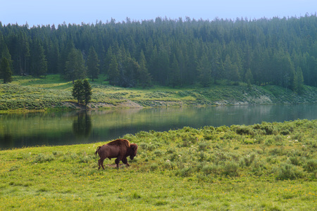 Bison Walking along River in Yellowstone National Park, United States