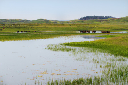 Herd of bison in wetlands in Yellowstone National Park  Stock Photo