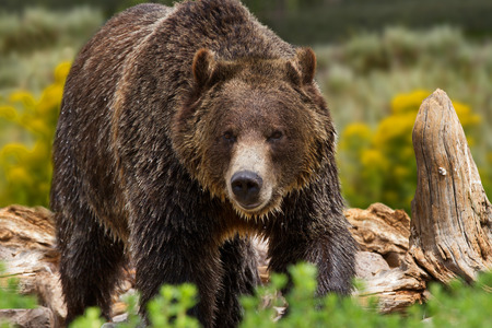 Large grizzly bear in Yellowstone National Park, United States