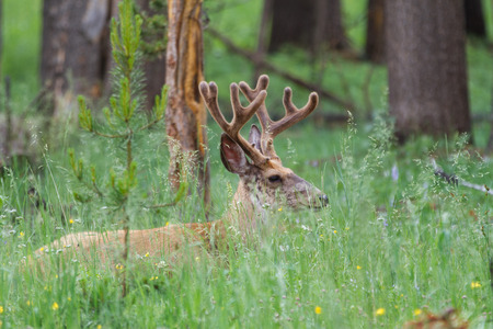 Male elk resting the in the tall grass in Yellowstone National Park, United States Stock Photo