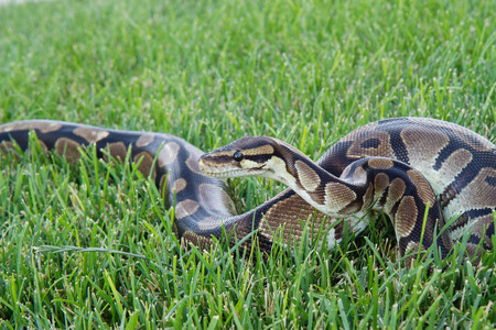 slither: Ball Python in the green grass Stock Photo