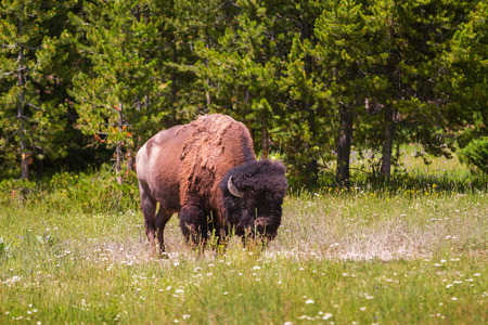 Single Bison Grazing in Yellowstone National Park, United States