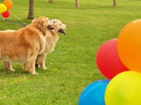Dogs in park, Spring time, green grass, ballons. Stock Photo