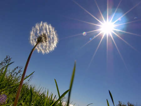 Dandelion on sundown sun  Imagens