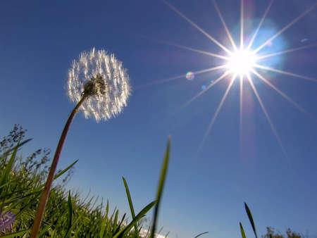 Dandelion on sundown sun  Standard-Bild