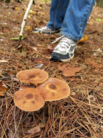 Fall Honey Mushrooms, Ontario, Canada