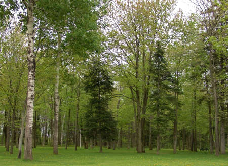 A view of many green tress in a forest