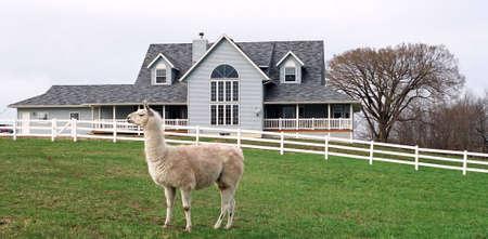 푸른 잔디, 배경에 농장 집에 라마. 봄 시간.