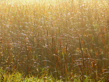 황금 야생 잔디, 이른 아침 태양 조명