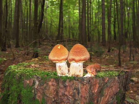 Honey Mushroom on Tree Stump. Green Wood.