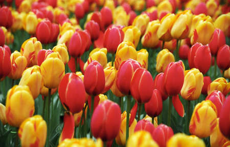 Field of yellow and red blossom tulips