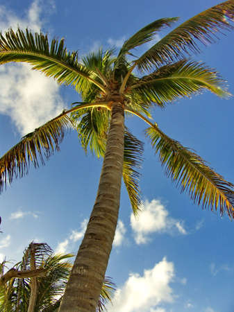 Coconut Palm Tree with Blue Sky Background