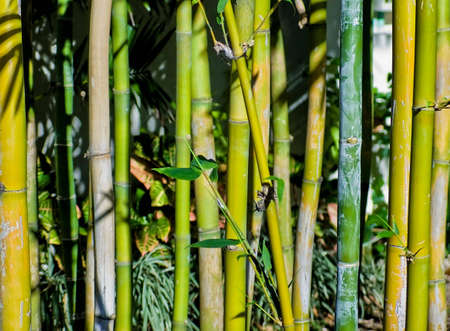 Green tropical Bamboo. Nature  background. Simple stems