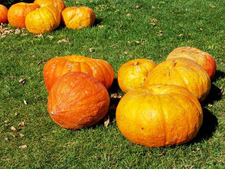 Orange pumpkins on green grass. Harvest, fall.