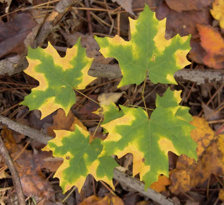 Autumn maple leaves. Yellow and green colours. Fall in Canada.