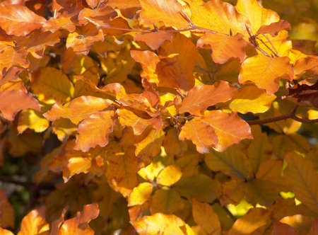 Yellow and orange autumn leaves background.