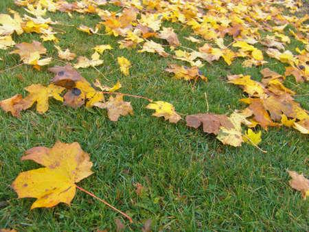Yellow autumn maple leaves on green grass 免版税图像