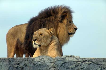 Leoni, Safari africano Lion  Archivio Fotografico - 5425728