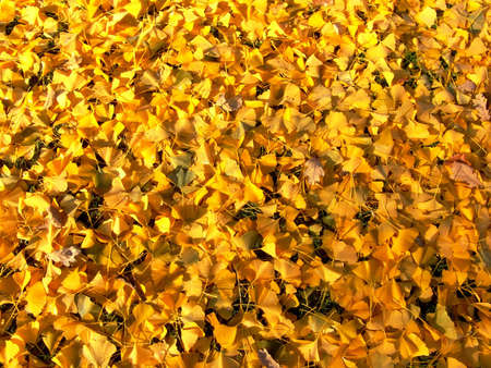 Bright yellow autumn leaves background. Fall time.