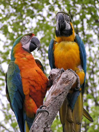 Birds: Two bright multi-coloured parrots. Close-up. Stock Photo