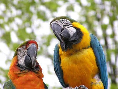 Birds: Two bright multi-coloured parrots. Close-up. 免版税图像