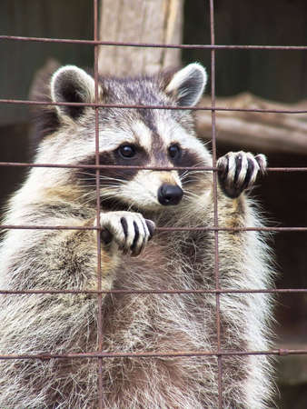 Standing racoon in cage. Zoo, Ontario, Canada