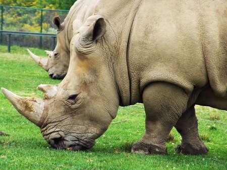 African animals: Rhinoceros eating grass. Safari park, Ontario, Canada