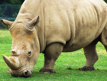 African animals: Rhinoceros eating grass. Safari park, Ontario, Canada 스톡 콘텐츠 - 5426248