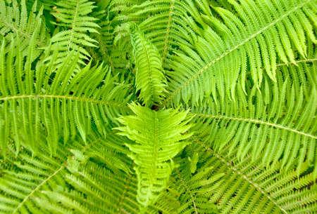 Pteridopsida - Modern Ferns. Green nature background. Standard-Bild