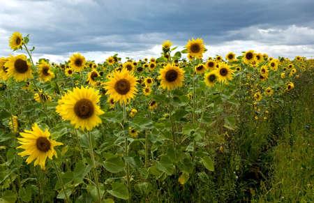 농업 : 해바라기의 필드입니다. 여름 시간, 러시아.