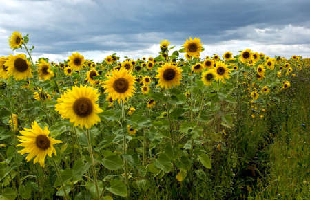 Agriculture: Field of sunflowers. Summer time, Russia.