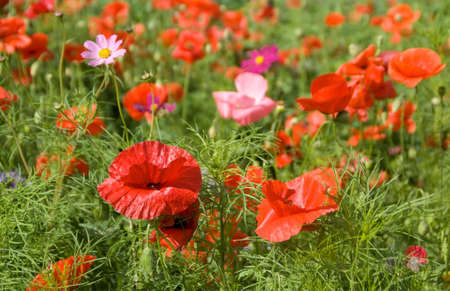 Red poppies on green grass meadow. Summer blossom.