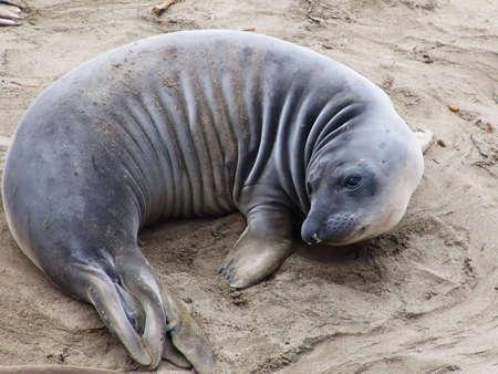 Elephant seal colony (mirounga angustirostris), California, 2007 Standard-Bild