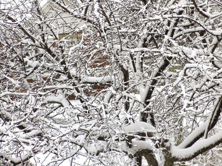 Tree branches covered by snow after blizzard. Winter. 免版税图像 - 5426345