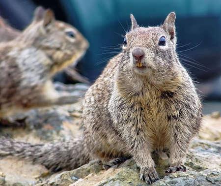 Wild squirrels on parking lot (California, USA) 스톡 콘텐츠