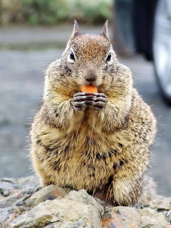 Wild squirrel eating a nut on parking lot (California, USA) 免版税图像