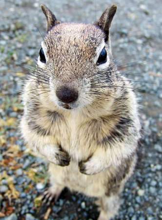 Standing and begging food squirrel (California, USA)