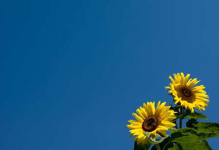 Sunflowers on empty blue sky background. Good for greeting card.