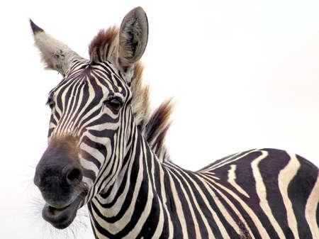 Zebra close-up on white background. Safari, Ontario, Canada. Stock Photo