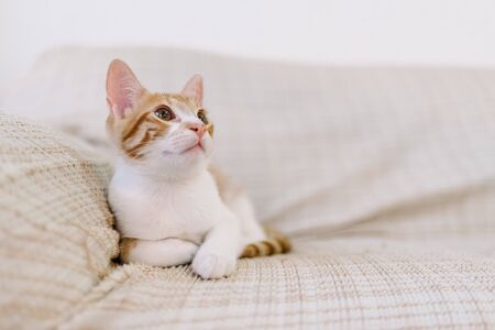 Stock photo of a red and white tabby colored cat laying down. It is looking away from the camera.