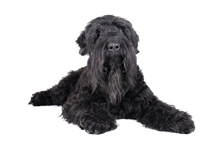black terrier on a white background photo