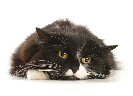 Front view of Black and white cat Stock Photo