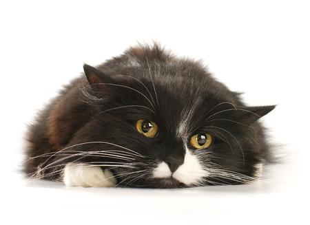 Vooraanzicht van Zwart-witte kat Stockfoto