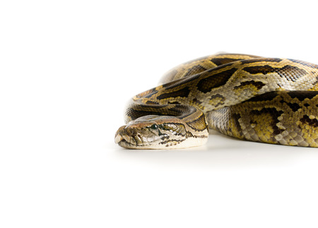 constrict: Royal python on white background