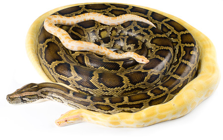pythons: Family royal pythons on a white background