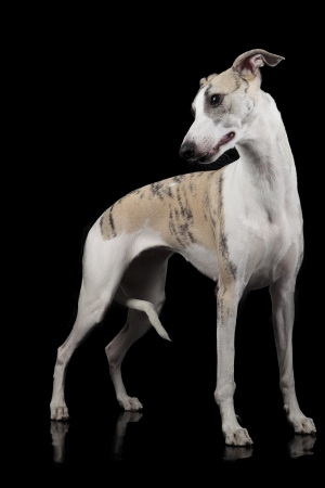 the whippet on a black background photo
