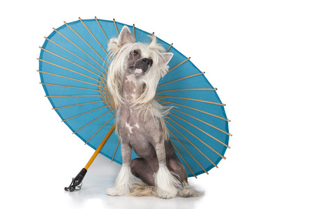 Hairless Chinese Crested dog with an umbrella on a white background